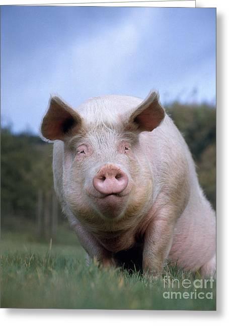 Domestic Pig Greeting Card by Hans Reinhard