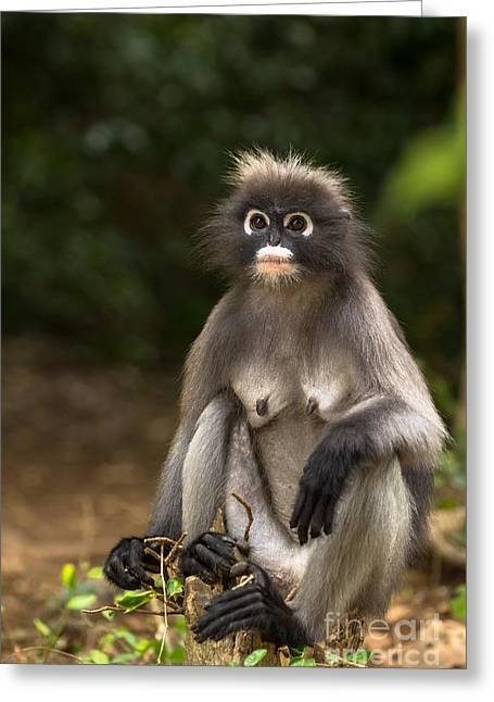 Dusky Leaf Monkey Greeting Card by Tosporn Preede