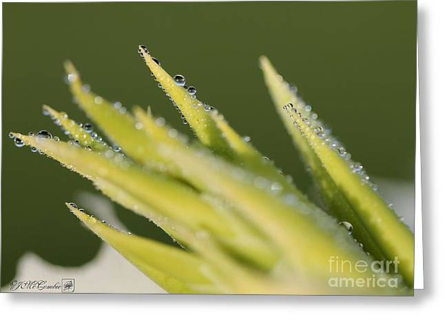 Dwarf Canna Lily Named Ermine Greeting Card by J McCombie