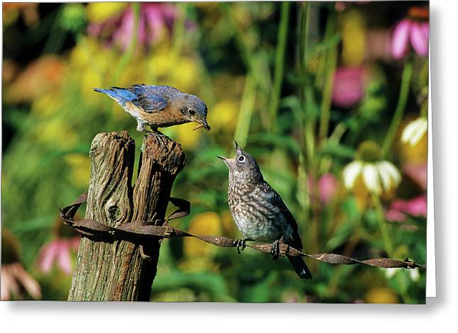 Eastern Bluebird (sialia Sialis Greeting Card