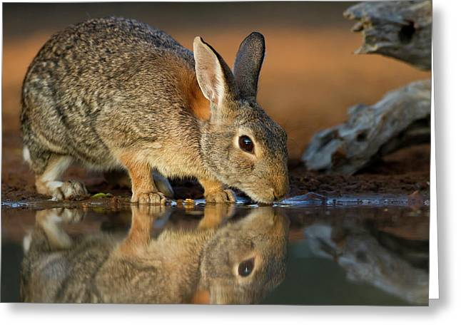 Eastern Cottontail (sylvilagus Greeting Card by Larry Ditto