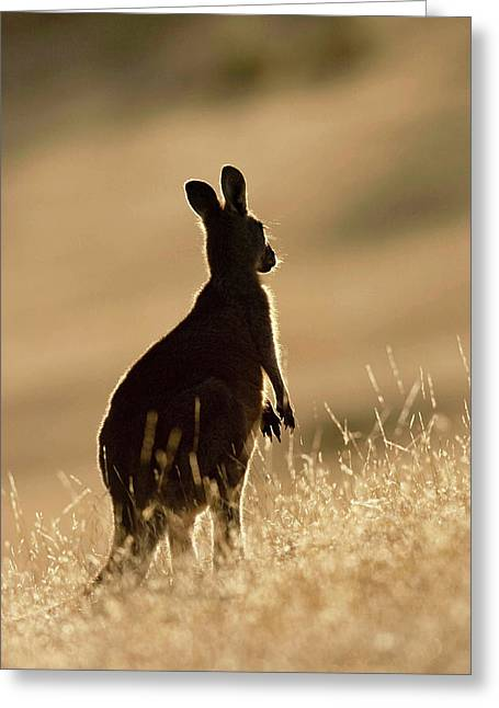 Eastern Grey Kangaroo Or Forester Greeting Card by Martin Zwick