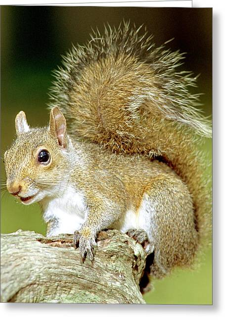 Eastern Grey Squirrel Greeting Card