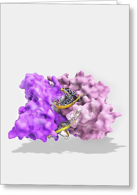 Ecorv Restriction Enzyme Molecule Greeting Card by Science Photo Library