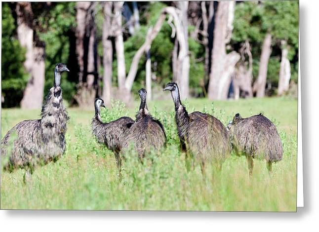 Emu (dromaius Novaehollandiae Greeting Card