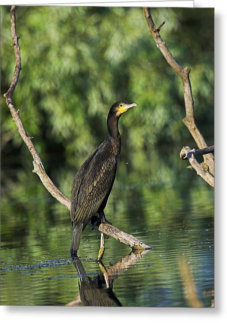 Eurasian Cormorant (phalacrocorax Carbo Greeting Card by Martin Zwick