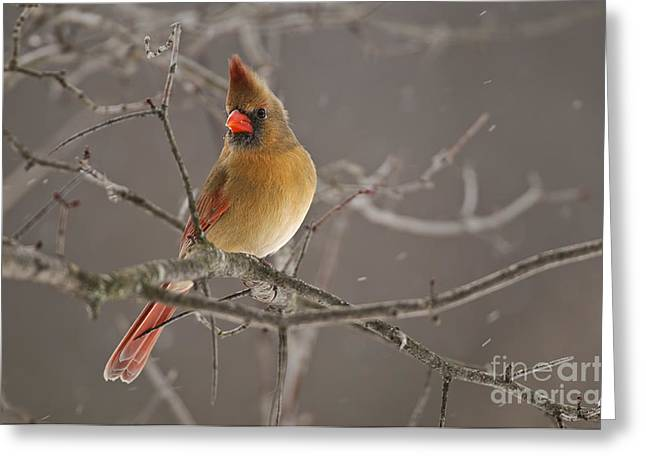 Female Northern Cardinal Greeting Card