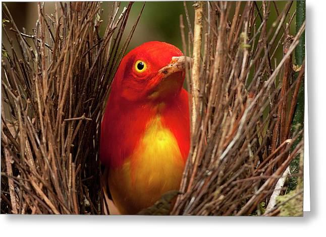 Flame Bowerbird In Bower Animal Art Greeting Card