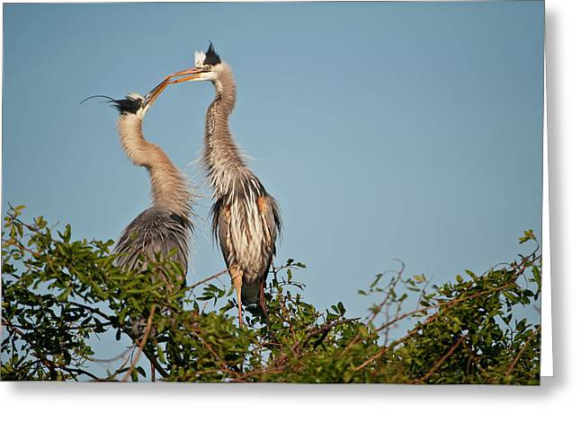 Florida, Venice, Great Blue Heron Greeting Card