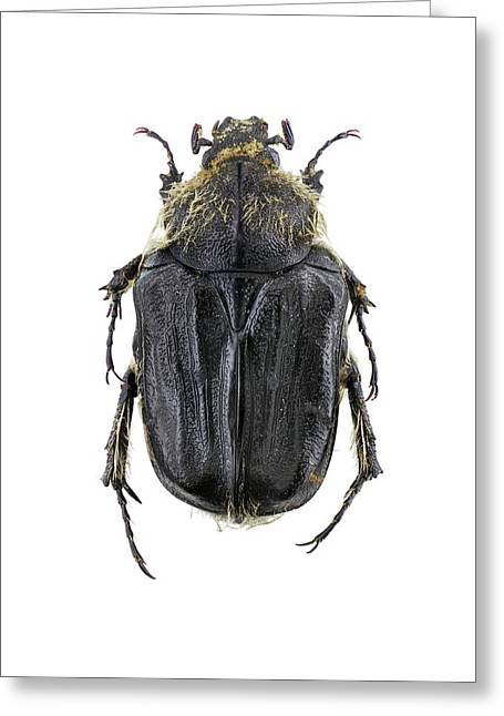 Flower Chafer Greeting Card