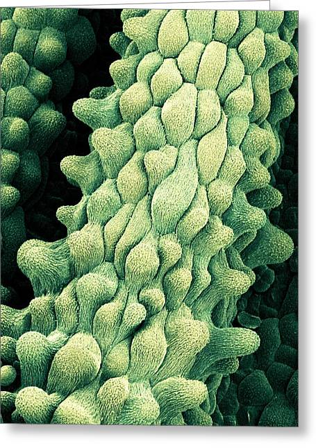 Flower Pistils, Sem Greeting Card by Science Photo Library
