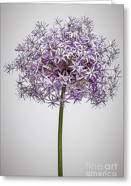 Flowering Onion Flower Greeting Card by Elena Elisseeva