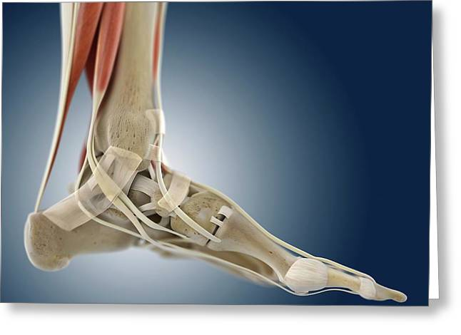 Foot Anatomy Greeting Card by Springer Medizin/science Photo Library