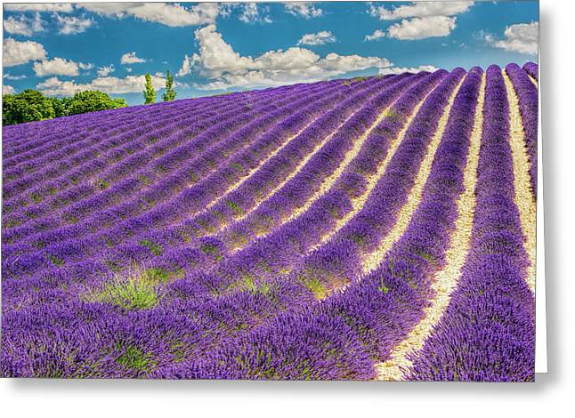 France, Provence, Lavender Field Greeting Card
