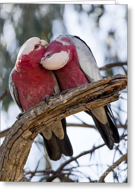 Galahs Greeting Card by Steven Ralser