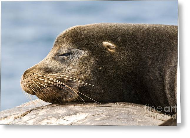 Galapagos Sea Lion Greeting Card