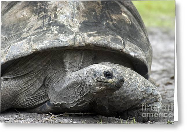 Galapagos Tortoise Greeting Card
