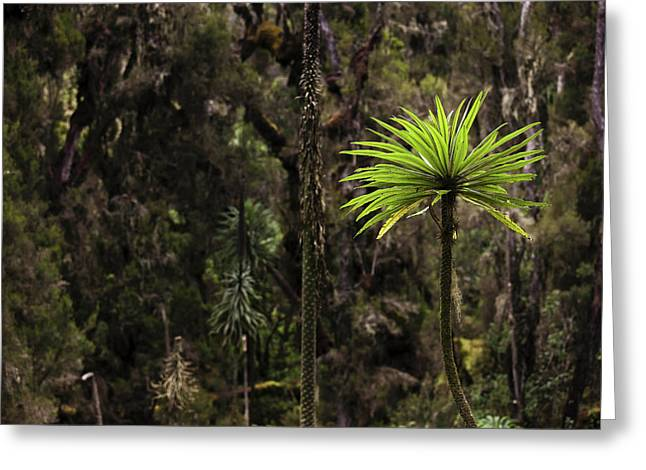 Giant Lobelia (lobelia Lanuriensis Greeting Card
