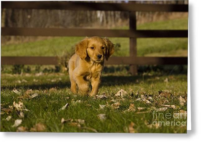 Golden Retriever Pup Greeting Card