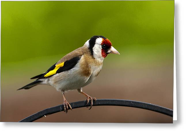 Goldfinch Greeting Card by Paul Scoullar