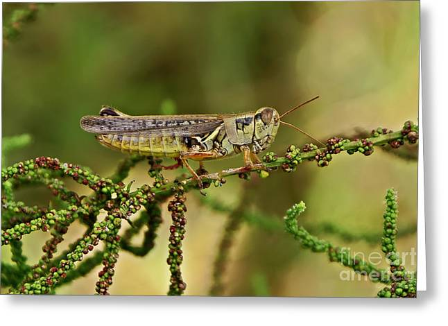 Greeting Card featuring the photograph Grasshopper by Olga Hamilton