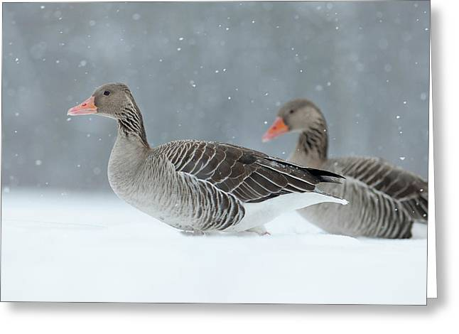 Graylag Goose (anser Anser Greeting Card