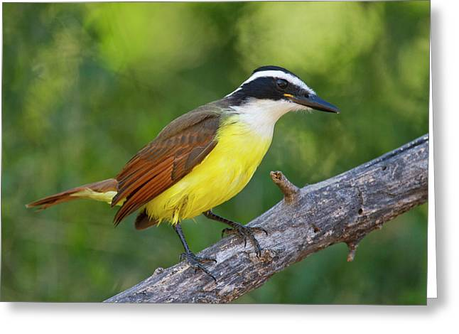 Great Kiskadee (pitangus Sulphuratus Greeting Card by Larry Ditto