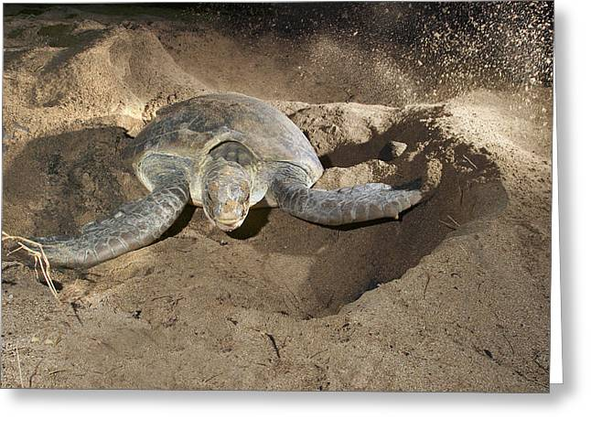 Green Turtle Laying Eggs Greeting Card