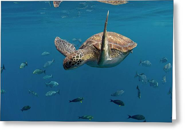 Green Turtle Swimming Greeting Card by Peter Scoones/science Photo Library