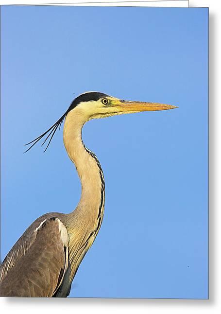 Grey Heron (ardea Cinera Greeting Card