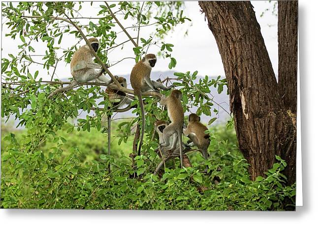 Grivet Monkey Chlorocebus Aethiops Greeting Card