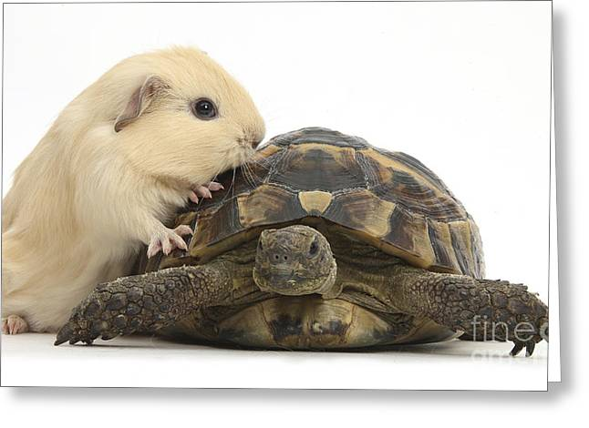 Guinea Pig And Tortoise Greeting Card by Mark Taylor