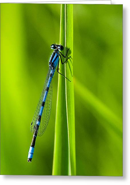 Hagen's Bluet Greeting Card