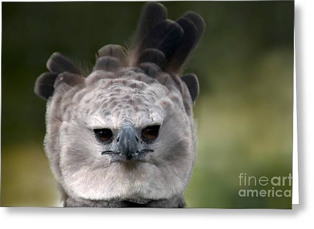 Harpy Eagle Harpia Harpyja Greeting Card