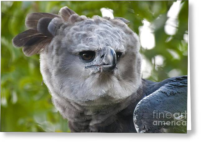 Harpy Eagle Greeting Card