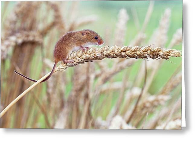 Harvest Mouse On Wheat Greeting Card by John Devries