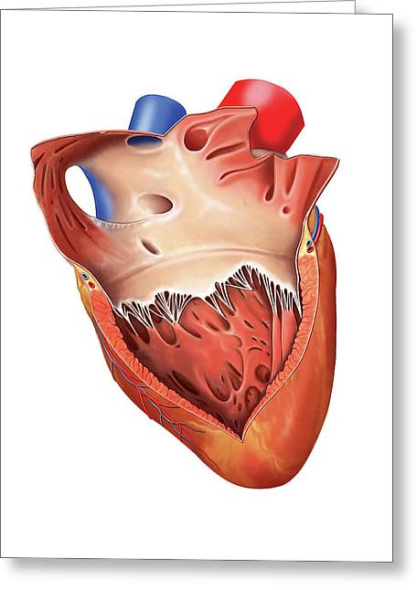 Heart Atrium And Ventricle Greeting Card