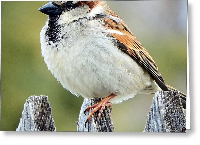 House Sparrow Greeting Card by David G Paul
