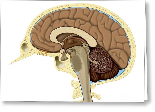 Human Brain Anatomy, Artwork Greeting Card by Art for Science