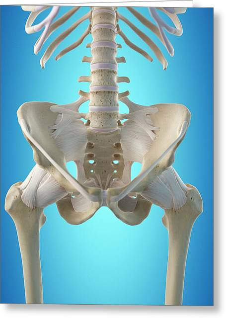 Human Hip Tendons Greeting Card by Sciepro
