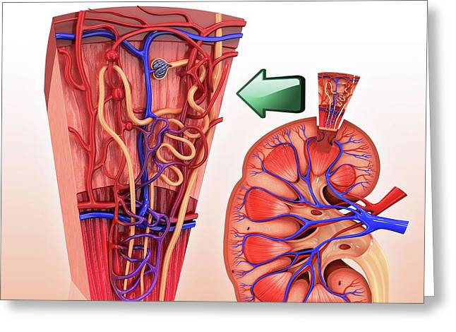 Human Kidney Nephron Greeting Card by Pixologicstudio