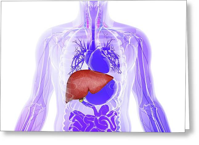 Human Liver And Gall Bladder Greeting Card by Pixologicstudio
