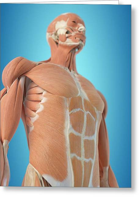 Human Musculoskeletal System Greeting Card