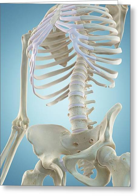 Human Skeletal Structure Greeting Card by Sciepro