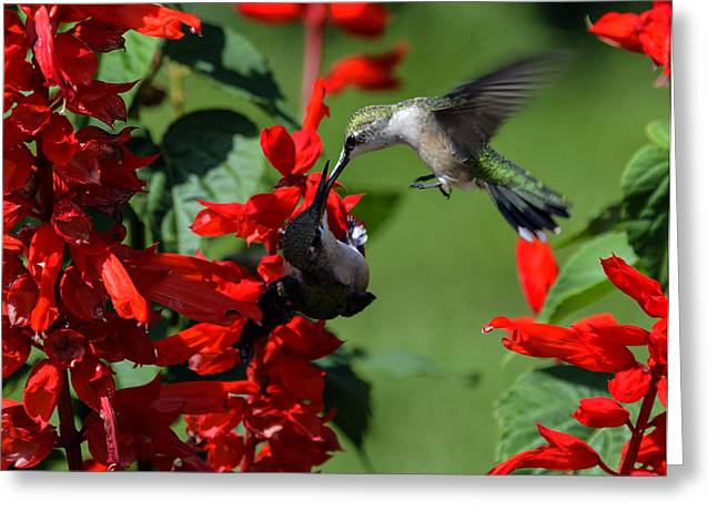 Hummingbird Greeting Card by David Lester