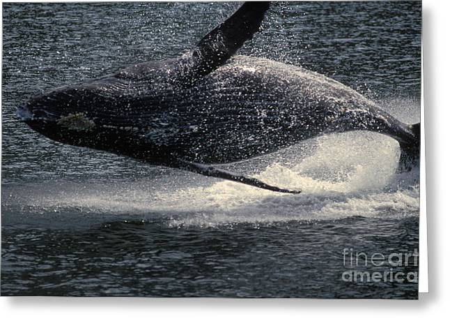 Humpback Whale Breaching Greeting Card by Ron Sanford