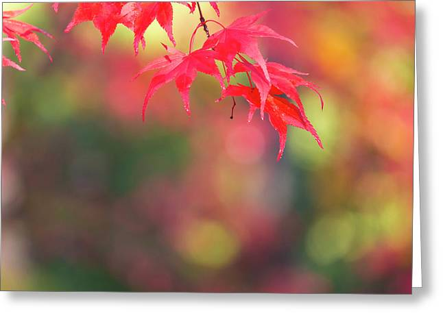 Japanese Maple In Autumn Color Greeting Card