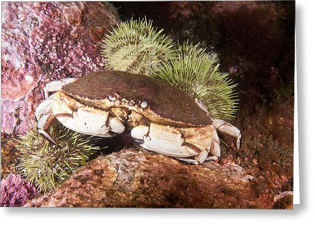 Jonah Crab Greeting Card