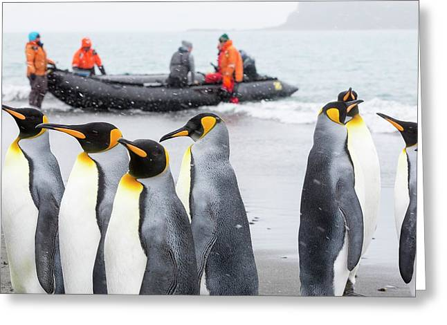 King Penguins On Salisbury Plain Greeting Card