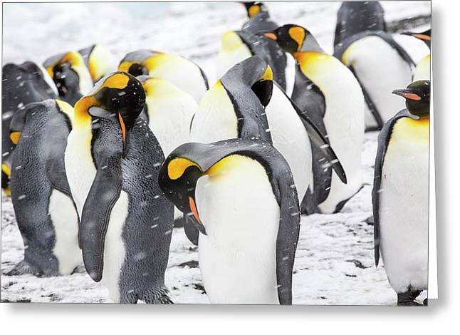 King Penguins On The Beach Greeting Card by Ashley Cooper
